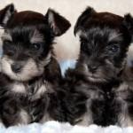 Lindos cachorros schnauzers