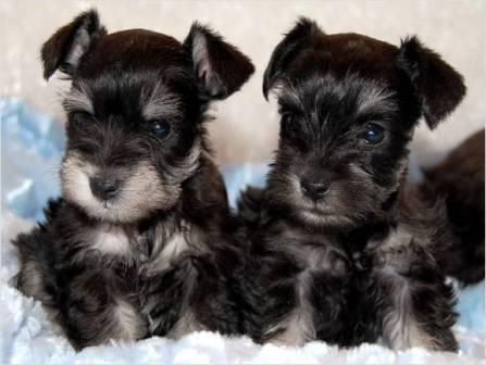 cachorros schnauzers